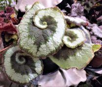 B. 'Escargot', Hybrid Rex Begonia, Melbourne Begonia Society