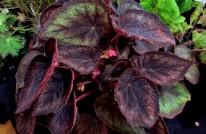 B. 'Black Knight', hybrid 1916 Rex, Begonia. Melbourne Begonia Society