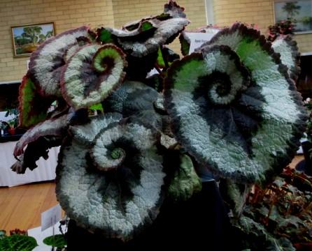 B 'Escargot', Alderson hybrid Rex cutorum, Begonia, Melbourne Begonia Society