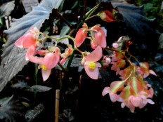 B. 'Guy Savard' cane-like hybrid begonia, Melbourne Begonia Society