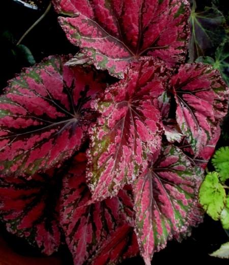 B. 'Harmony Embers', Harmony hybrid fl. Rex Begonia, Melbourne Begonia Society