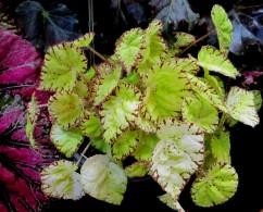 B. 'Lemon Candy', Ross Bolwell hybrid (NSW rhizomatous) Begonia, Melbourne Begonia Society
