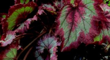 B 'Raspberry Torte', USA hybrid Rex Begonia, Melbourne Begonia Society