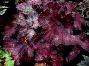 B. 'Silky Swirl', Joan Taylor hybrid Qld Rex Begonia, Melbourne Begonia Society