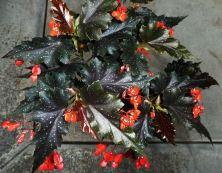 B. 'Aztec Sun',Cane-Like Hybrid Begonia, Melbourne Begonia Society