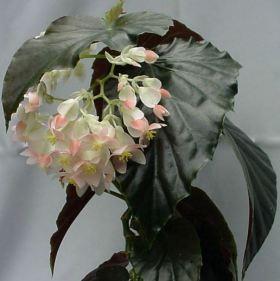 B. 'Fanfare', Cane-Like Hybrid Begonia, Melbourne Begonia Society