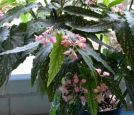 B. 'Child of Annan', Cane-Like Hybrid Begonia, Melbourne Begonia Society