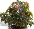 B. 'Fabulous Tom', Cane-Like Hybrid Begonia, Melbourne Begonia Society