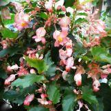 B. 'Kathleen Meyer', Cane-Like Hybrid Begonia, Melbourne Begonia Society
