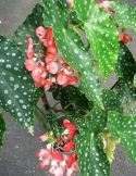 B. maculata var. elegantissima, Cane-Like Species Begonia, Melbourne Begonia Society