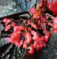 B. 'Mystic', Cane-Like Begonia Hybrid, Melbourne Begonia Society
