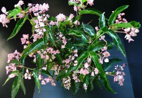 B. 'Perna', Cane-Like Hybrid Begonia, Melbourne Begonia Society