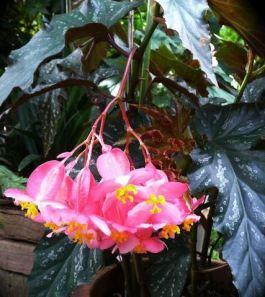 B. 'Silver Mirror', Cane-Like Hybrid Begonia, Melbourne Begonia Society