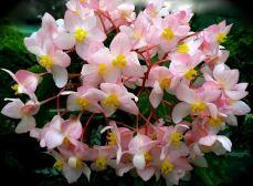 B. 'Tivoli Queen', Cane-Like Hybrid Begonia, Melbourne Begonia Society
