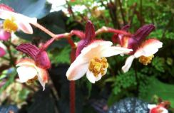 B. 'Greyghost', Rex Hybrid Begonia, Melbourne Begonia Society