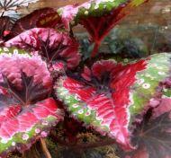 B. 'Merry Christmas', Rex Hybrid Begonia, Melbourne Begonia Society