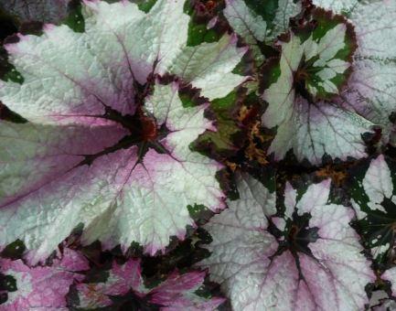 B. 'New York Swirl',Rex Hybrid Begonia, Melbourne Begonia Society