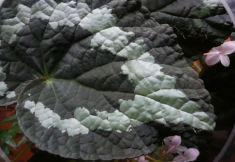 B. 'Putzeys',, Rex Hybrid Begonia, Melbourne Begonia Society