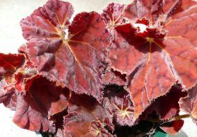 B. 'Angel Glow', Rhizomatous Hybrid Begonia, Melbourne Begonia Society