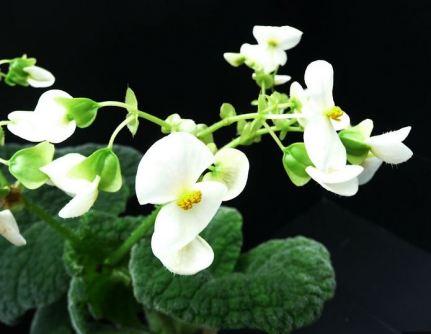 B. carrieae, Rhizomatous Species Begonia, Melbourne Begonia Society