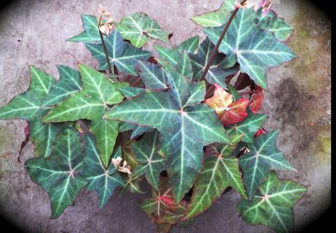 B. kenworthyae, Rhizomatous Mexican species Begonia, Melbourne Begonia Society