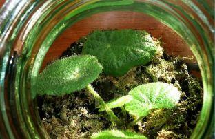 B. sudjanae, Rhizomatous Species Begonia, Melbourne Begonia Society