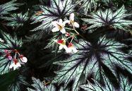 B. 'Connee Boswell', Rhizomatous Hybrid Begonia, Melbourne Begonia Society