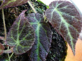 B. decora, Malaya species Begonia, Melbourne Begonia Society