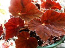 B. 'Little Ruby', Rhizomatous Hybrid Begonia, Melbourne Begonia Society