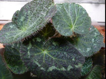 B. sizemoreae, Rhizomatous Vietnam species Begonia, Melbourne Begonia Society