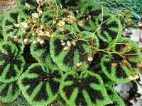 B. masoniana, Rhizomatous Species Begonia, Melbourne Begonia Society