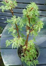 B. dregei f bolusii, Semi-Tuberous Species Begonia, Melbourne Begonia Society