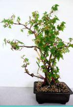 B. dregei f dregei,Semi-Tuberous Species Begonia, Melbourne Begonia Society