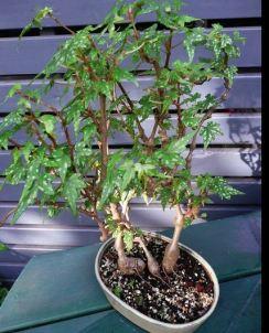 B. dregei f Glasgow, Semi-Tuberous Begonia, Melbourne Begonia Society