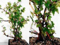 B. dregei, Semi-Tuberous Species Begonia, Melbourne Begonia Society
