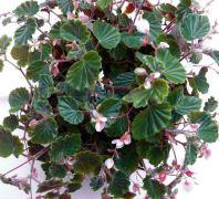 B. schmidtiana, Semperflorens Species Begonia, Melbourne Begonia Society