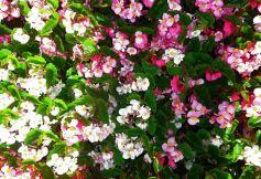 B. Baby Wings, Semperflorens Hybrid Begonia, Melbourne Begonia Society