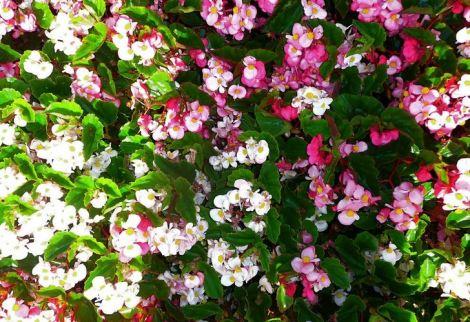 B. BabyWing, Semperflorens Hybrid Begonia, Melbourne Begonia Society