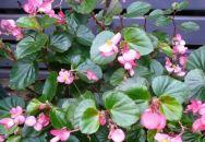 B. Baby Wings, Pink, Semperflorens Hybrid Begonia, Melbourne Begonia Society