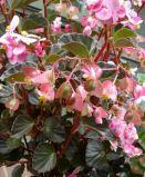 B. fischeri, Semperflorens Species Begonia, Melbourne Begonia Society