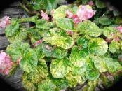 B. 'Charm', Semperflorens Hybrid Begonia, Melbourne Begonia Society