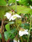 B. acetosella var acetosella, Shrub-like Vietnam species Begonia, Melbourne Begonia Society