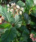 B. domingensis, Shrub-Like Species Begonia, Melbourne Begonia Society