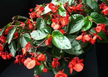 B. 'Dragon Wings', Shrub-Like Hybrid Begonia, Melbourne Begonia Society