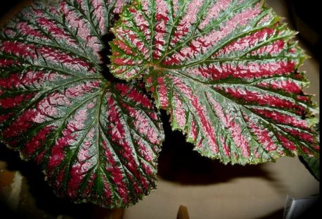 B. exotica,Shrub-Like PNG species Begonia, Papua New Guinea, Melbourne Begonia Society