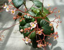 B. obliqua, Shrub-Like Caribbean species Begonia, Melbourne Begonia Society