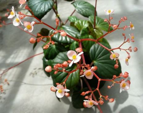 B. obliqua, Shrub-Like Caribbean species Begonia, Melbourne Begonia Society