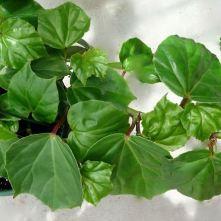 B. convolvulacea, Trailing Scandent Species Begonia, Melbourne Begonia Society, Melbourne Begonia Society
