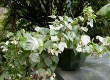 B. solanthera,Trailing Scandent Species Begonia, Melbourne Begonia Society