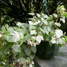 B. solanthera,Trailing Scandent Species Begonia, Melbourne Begonia Society
